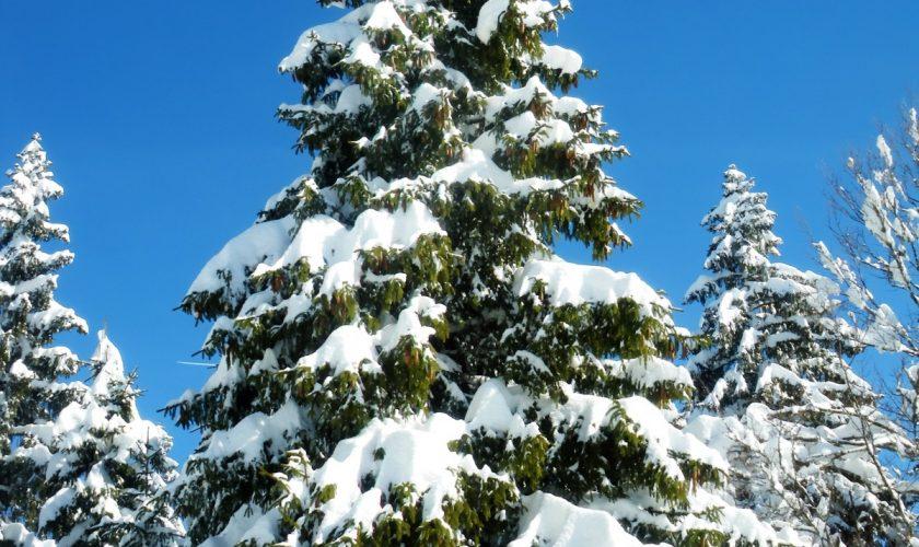 Fæld dit eget juletræ hos Dyssegaarden